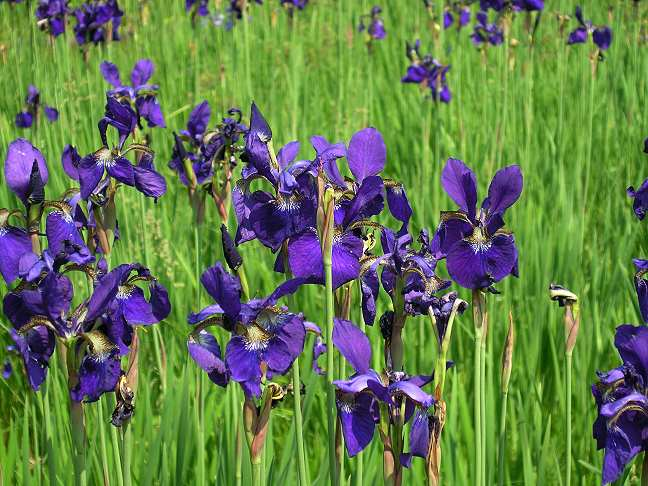 Ирис сибирский (Iris sibirica L.)