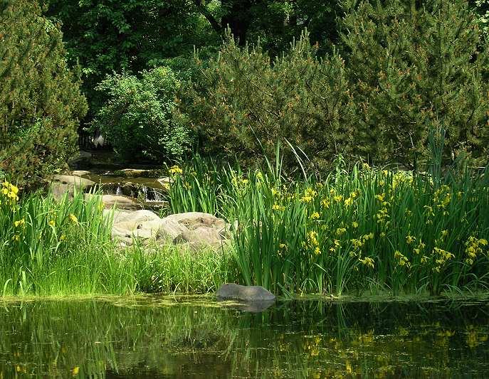 Ирис желтый (Iris pseudacorus L.)
