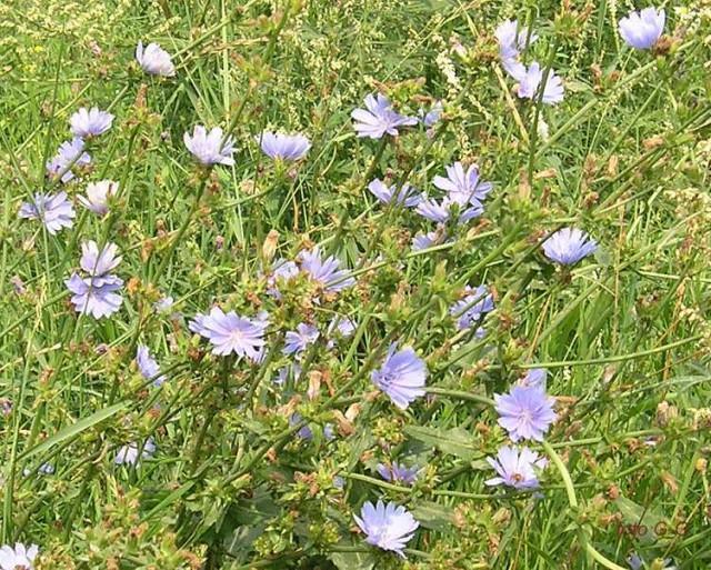Цикорий (Cichorium intybus L.)  Wild Succory