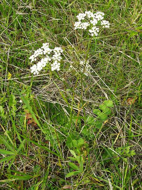 Бедренец камнеломковый (Pimpinella saxifraga L.)