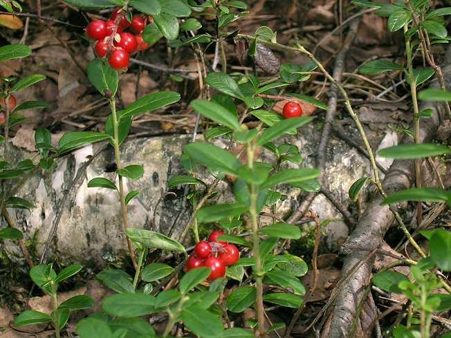 Брусника (Vaccinium vitis-idaea)