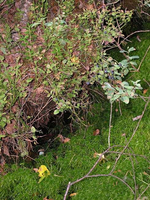 Черника (Vaccinium myrtillus)