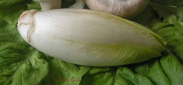 Цикорий витлуф (cichorium intybus) witloof