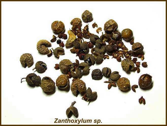 Zanthoxylon