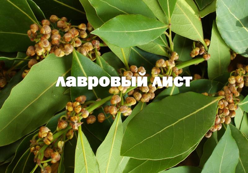 laurel_leaf