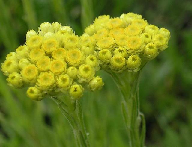 Бессмертник итальянский (Helichrysum italicum)