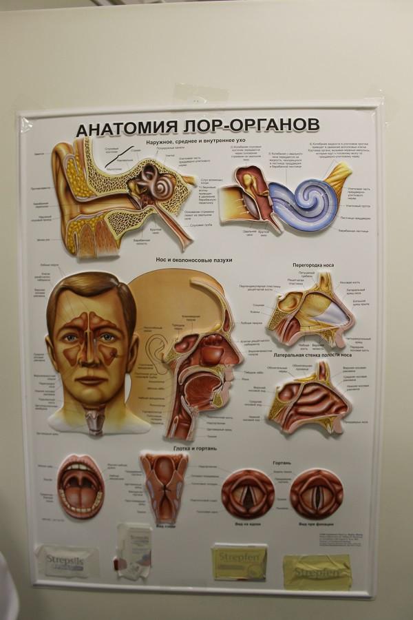 Вырезать картинки, лор органы анатомия в картинках