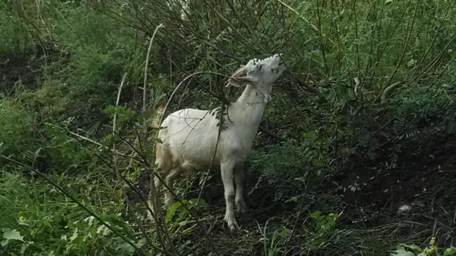 коза белая-3