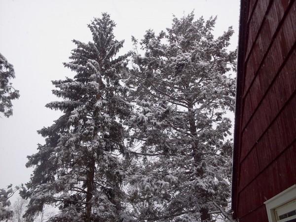 Snowpines
