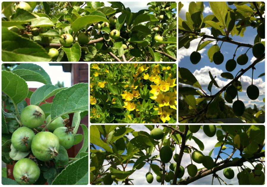 яблони и тёрн - 2015