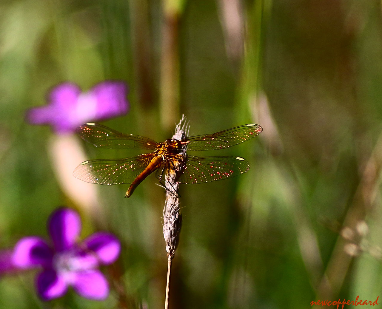 dragonfly-red stars1280
