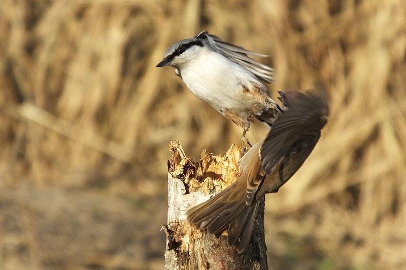считают, что фото птиц воробьев джигиты такое мясо