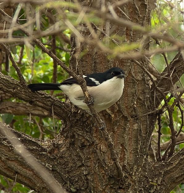 Чёрнокрылый белогруд (Кения)