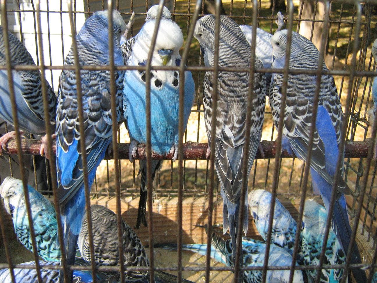Голубые-птицы