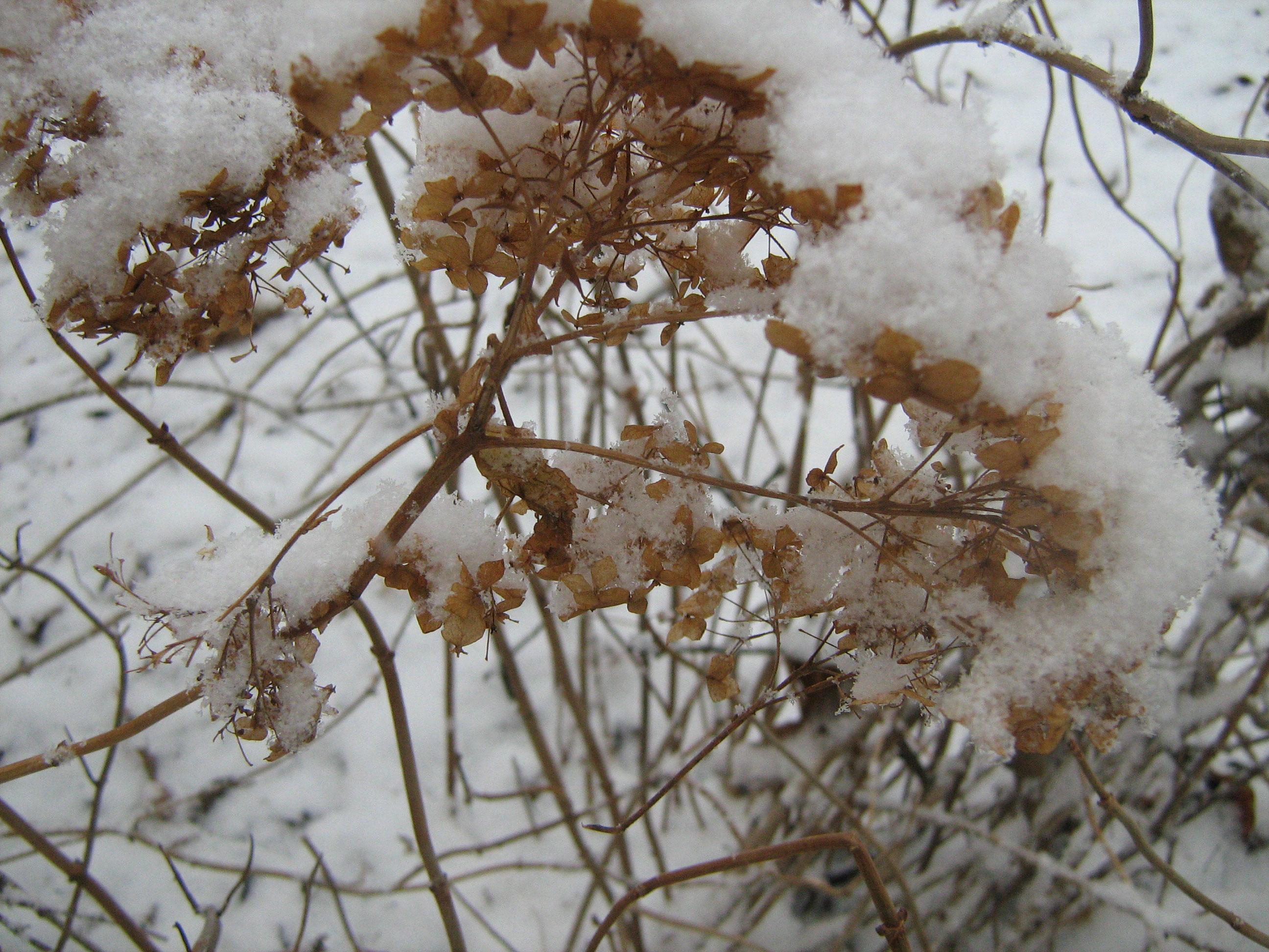 SnowGortensia2