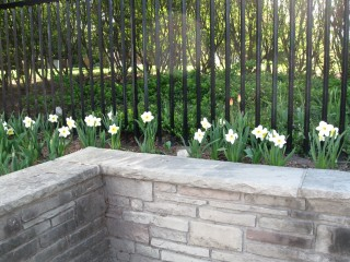 narcissus at gate