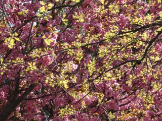 cherry tree closeup