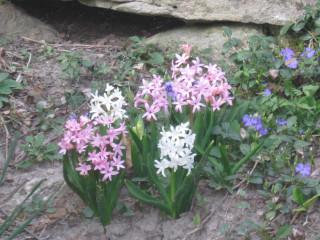 rock garden hyacinth