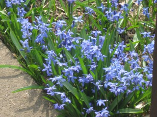 sea of squill