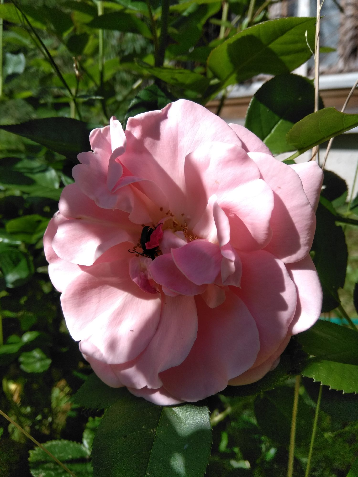 Просто розовая роза.
