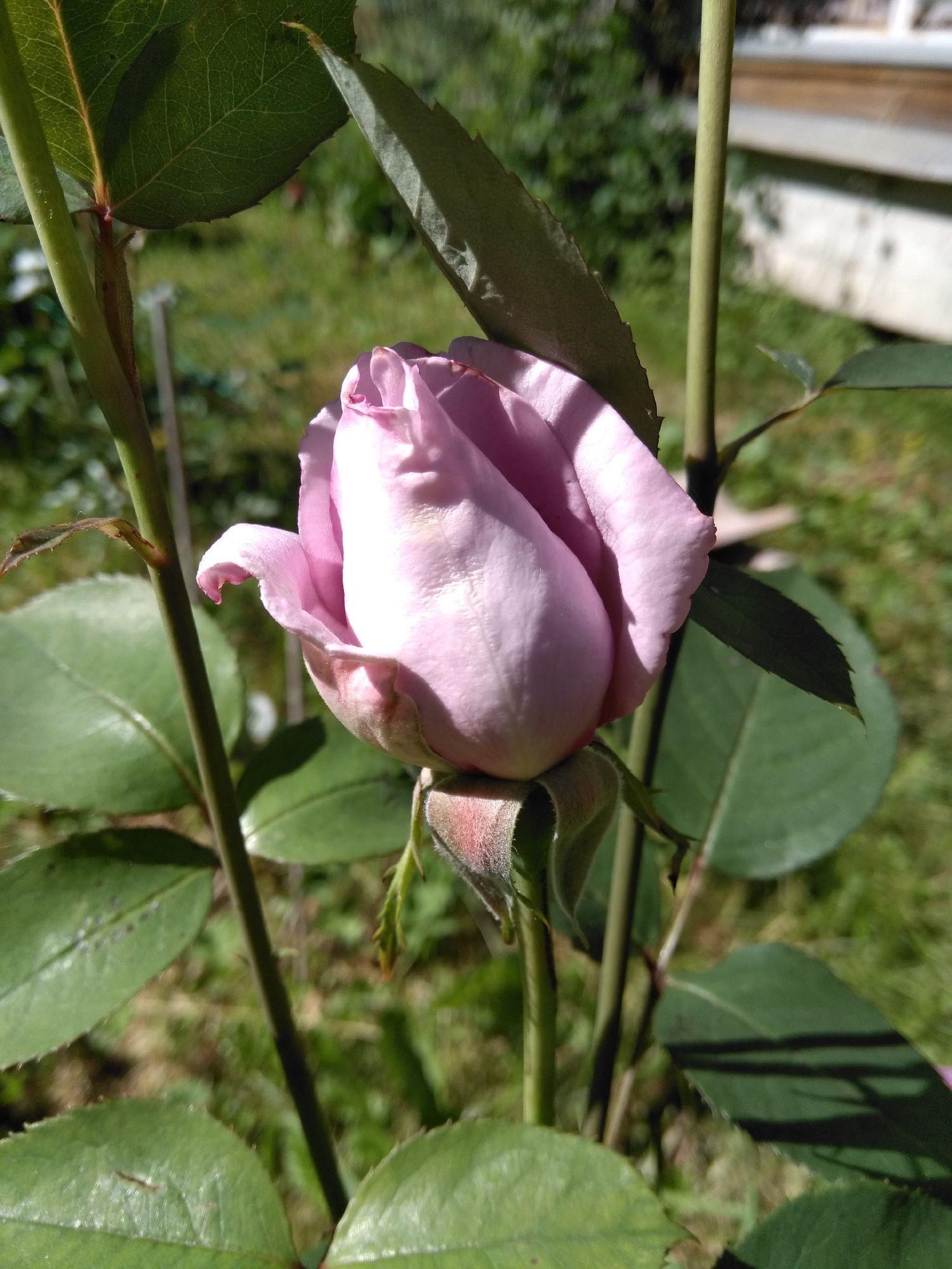 Бывшая голубая роза розовеет год от года