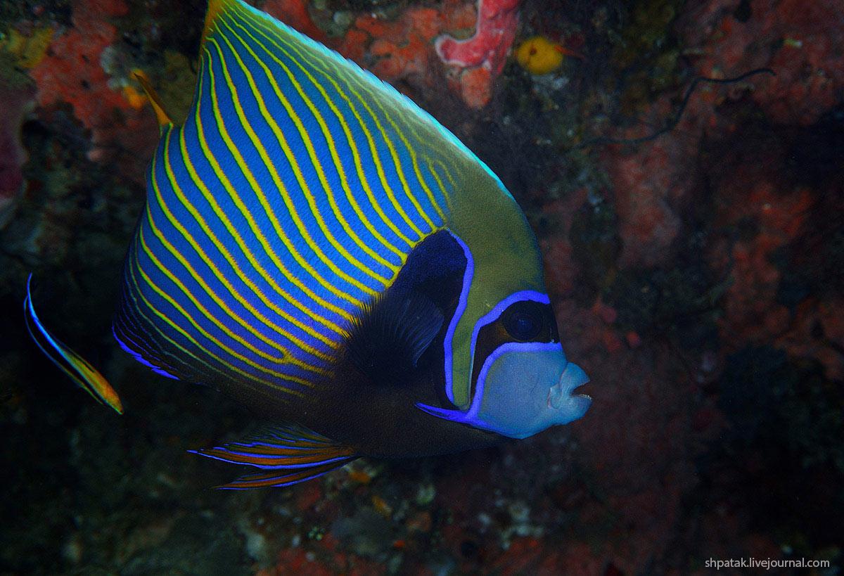 emperor-angelfish1