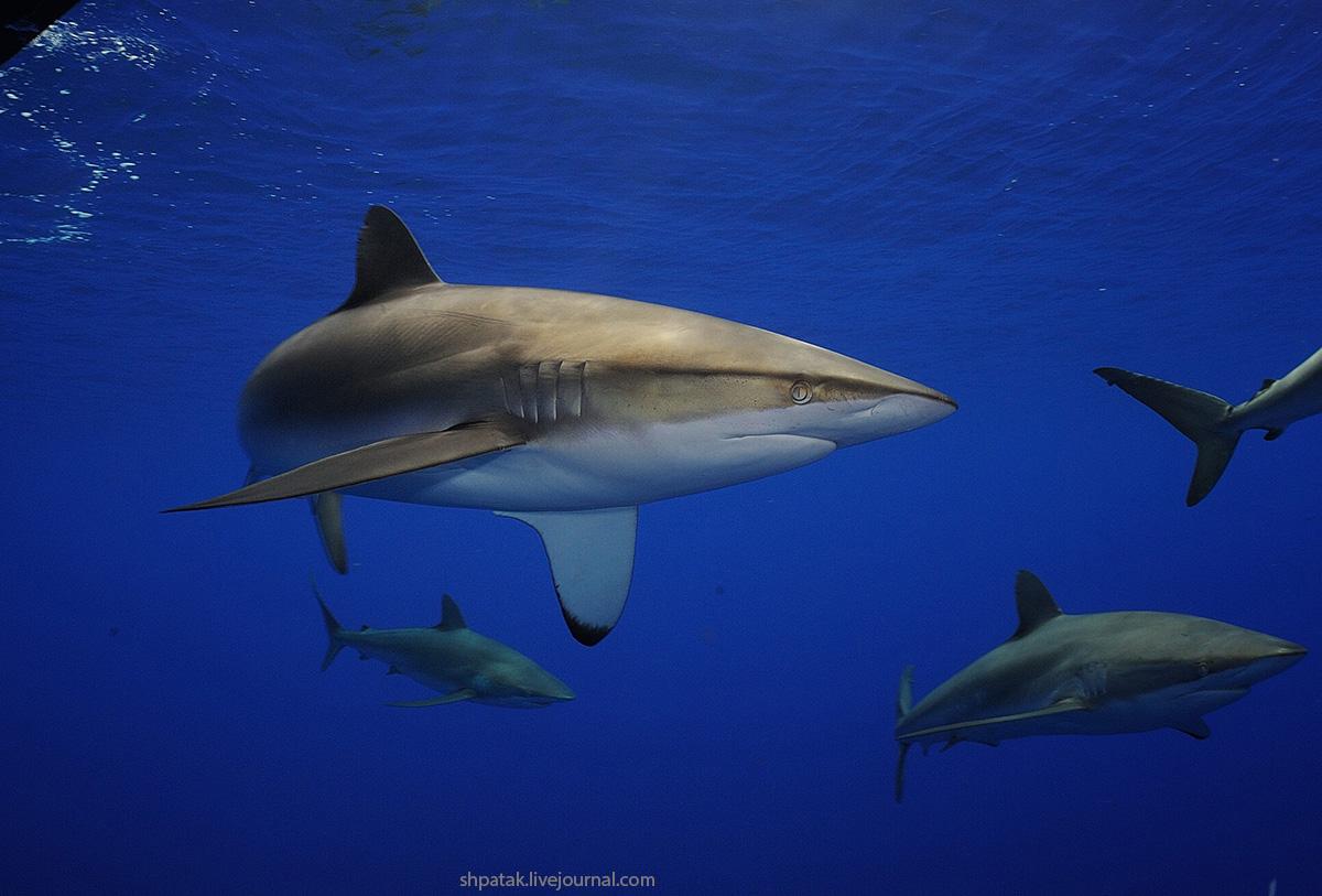 акулы1