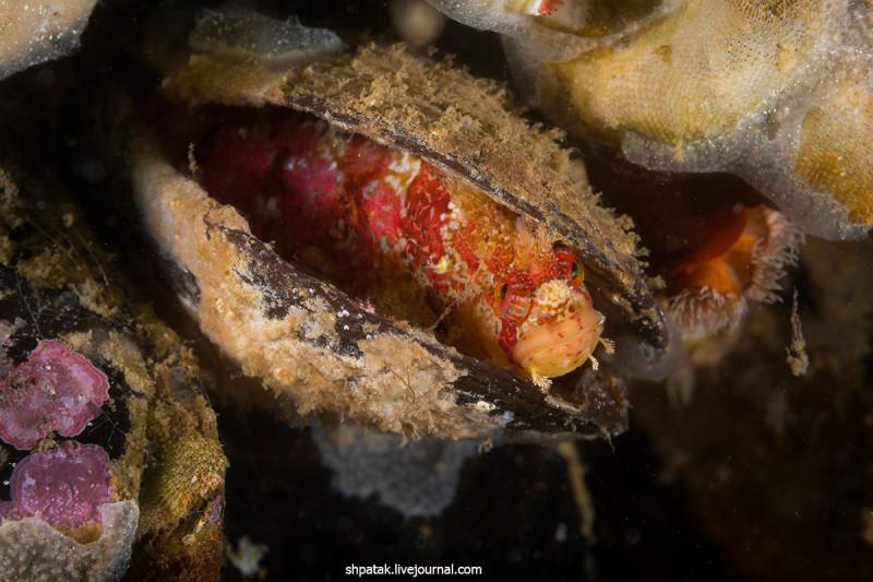 Мохоголовая собачка Сайто заняла место в пустой раковине мидии Грея. Сейчас у них начинается нерест и они откладывают икру в тайных местах типа пустой раковины или расселине скалы и охраняют.