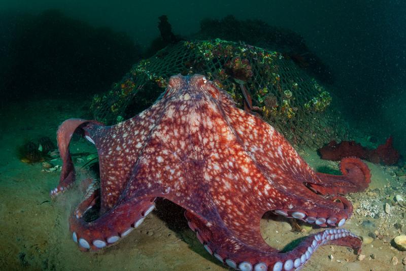Гигантский осьминог Дофлейна на фоне утерянной крабовой ловушки.