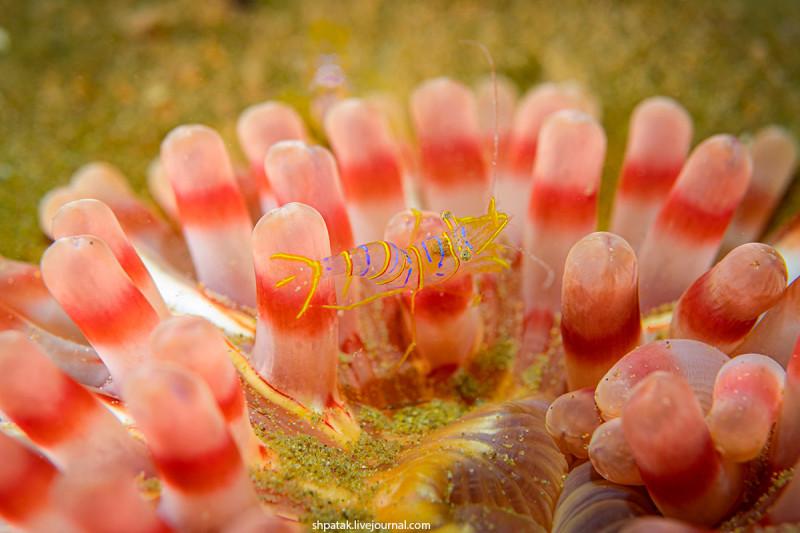 Candy stripes shrimp. Size 10 mm.