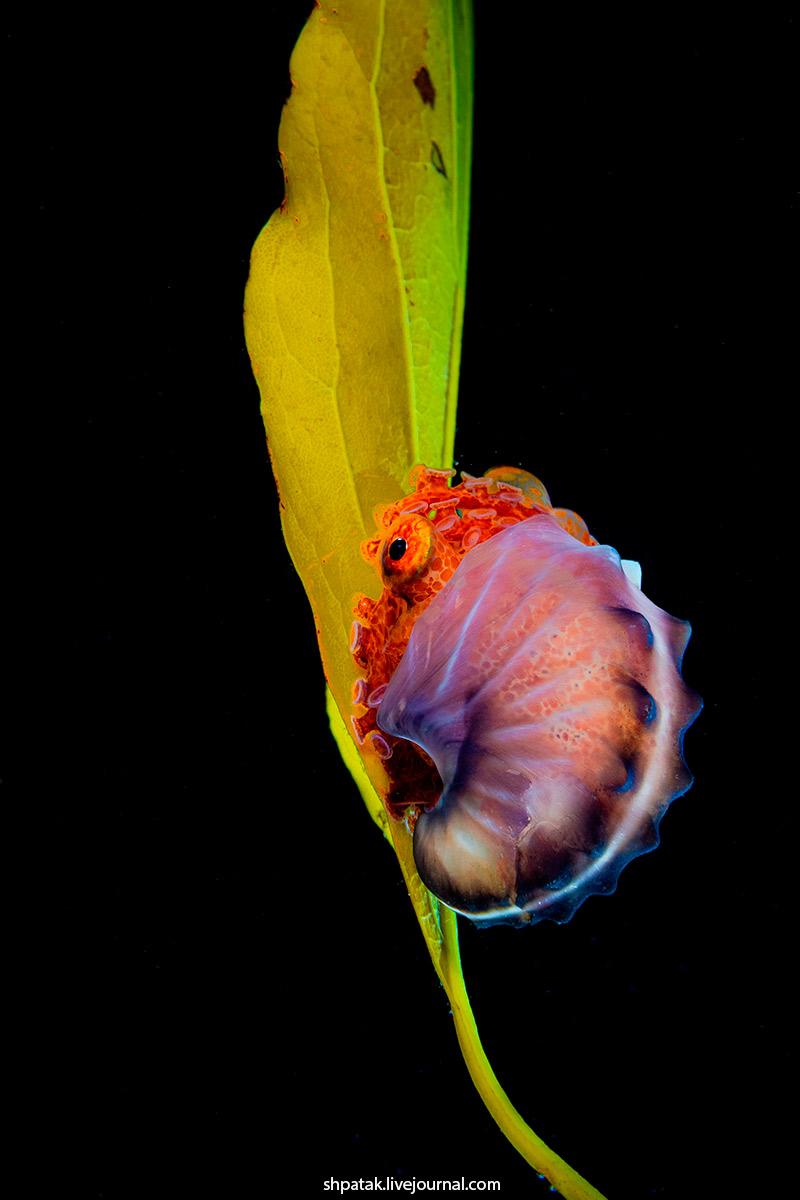 Paper nautilus(Argonaut or pelagic octopus(female). Nikon D500+Nikkor 60 mm.