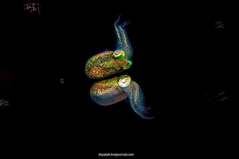 Bobtail squid near water surface.
