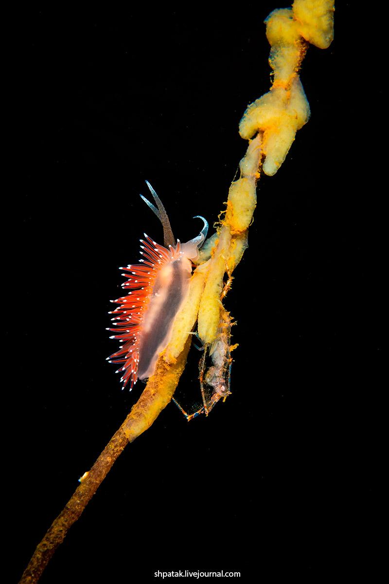 Flabellina polaris & Dulichia spinosissima. Nikon D800+Nikkor 60 mm.