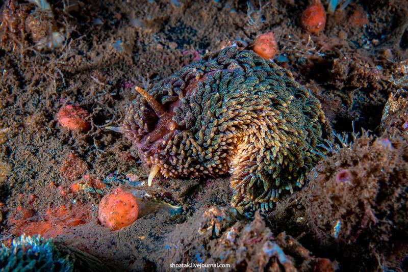 Очень крупный голожаберный моллюск Aeolidia papilosa. Такие сожрали целый сайт с актиниями Метродиум.