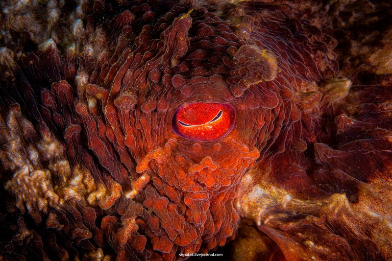 Глаз и ушко Гигантского осьминога Дофлейна. Никон Д500+Никкор 60 мм.