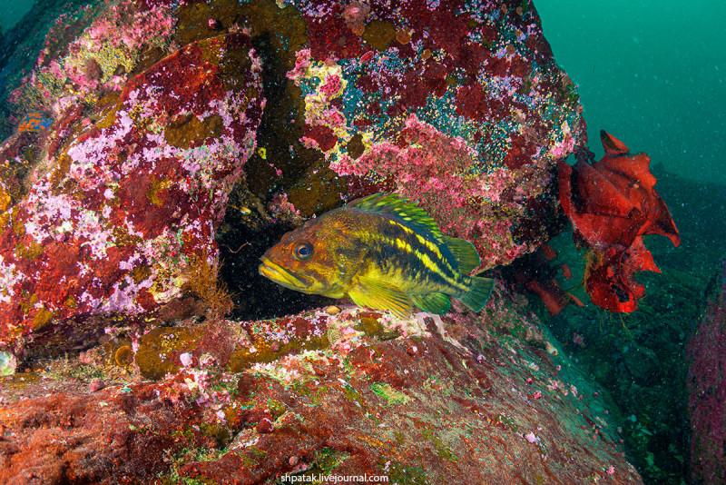 Золотой ерш или Желтополосый морской окунь.