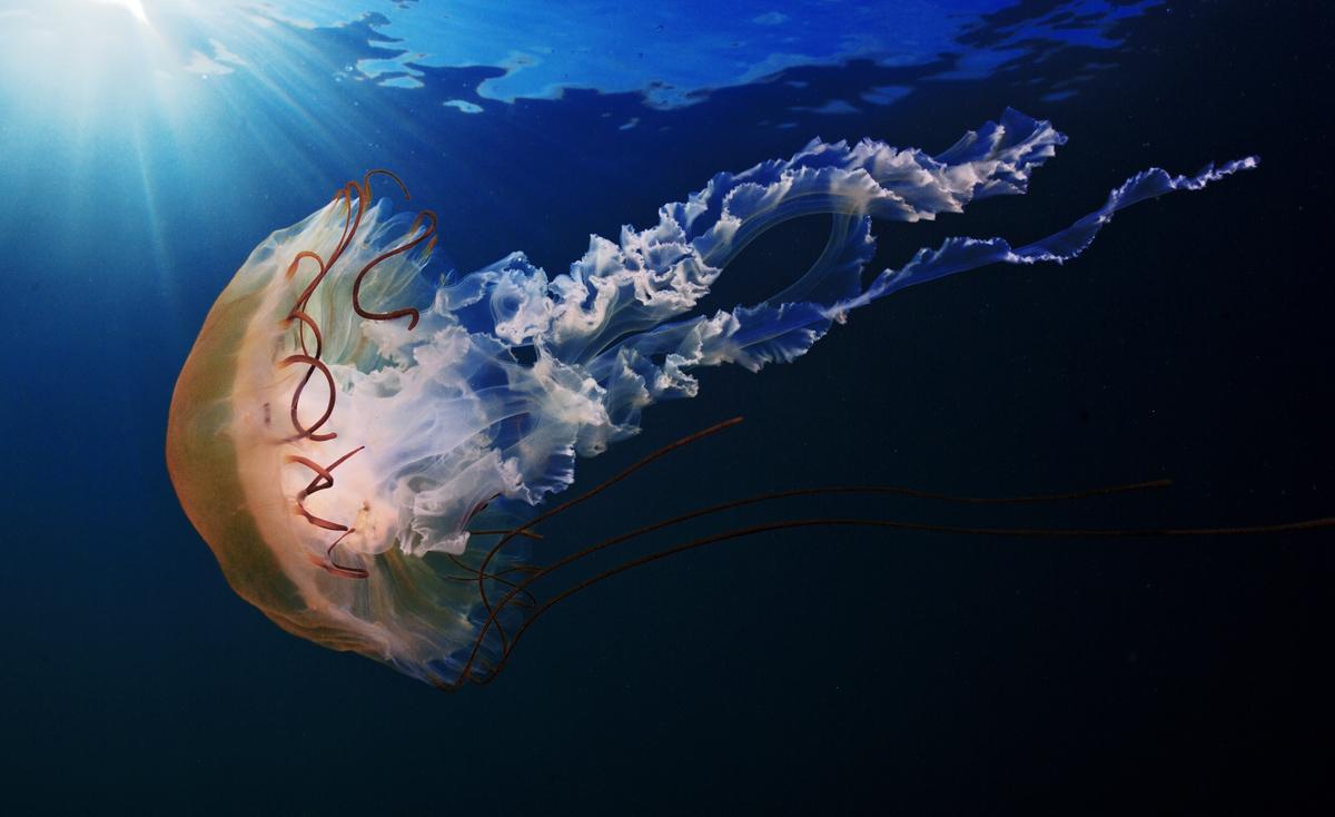 медузы фото в море