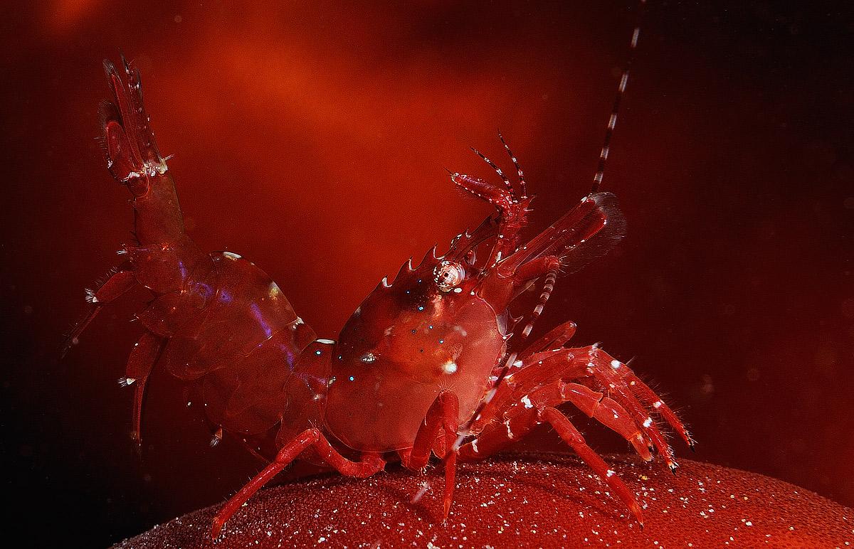 red-shrimp2