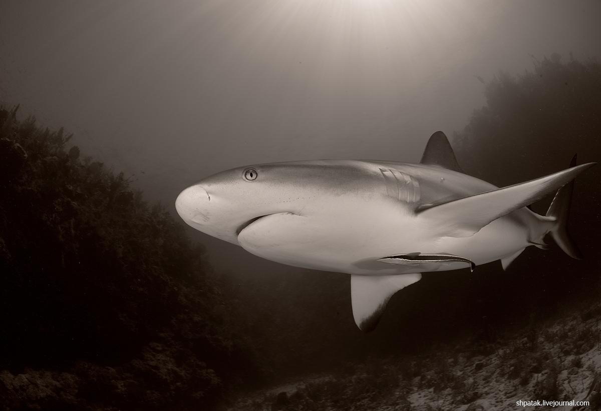 акула7