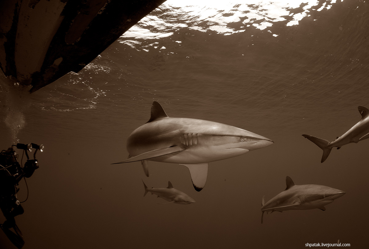 акула9