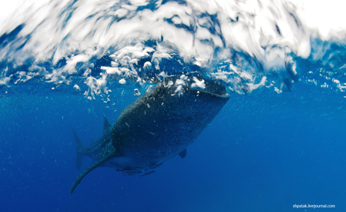 китовая12