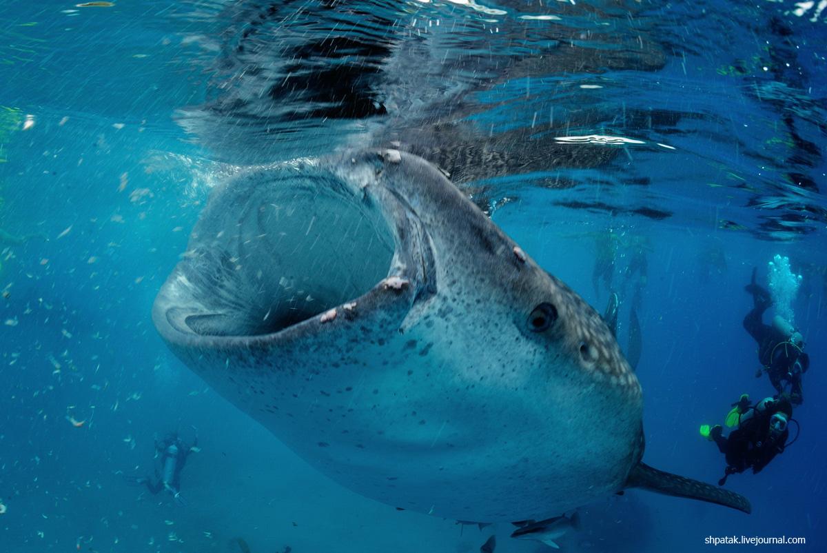 китовая2