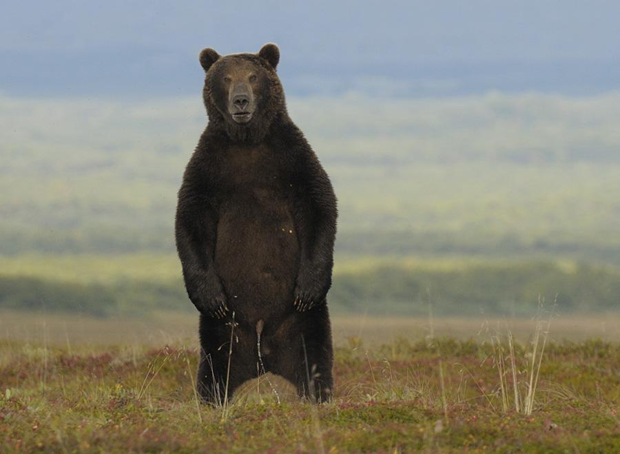 Писающий медведь
