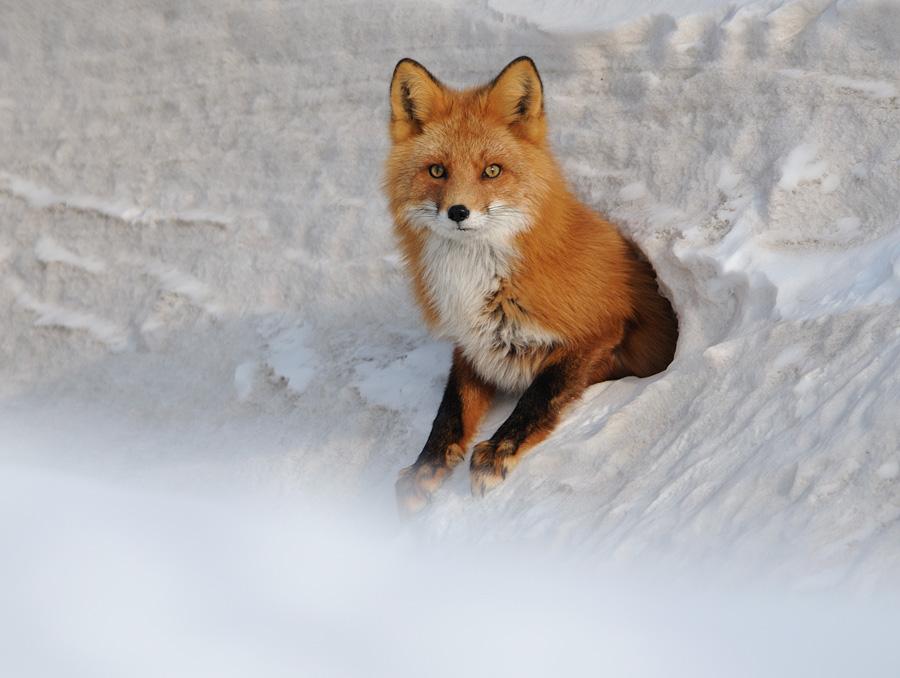 Картинки рыжие лисы - 58d