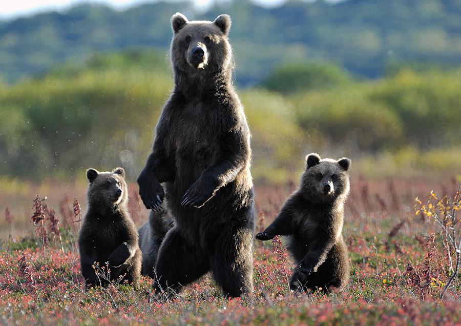 картинки 3 медведя