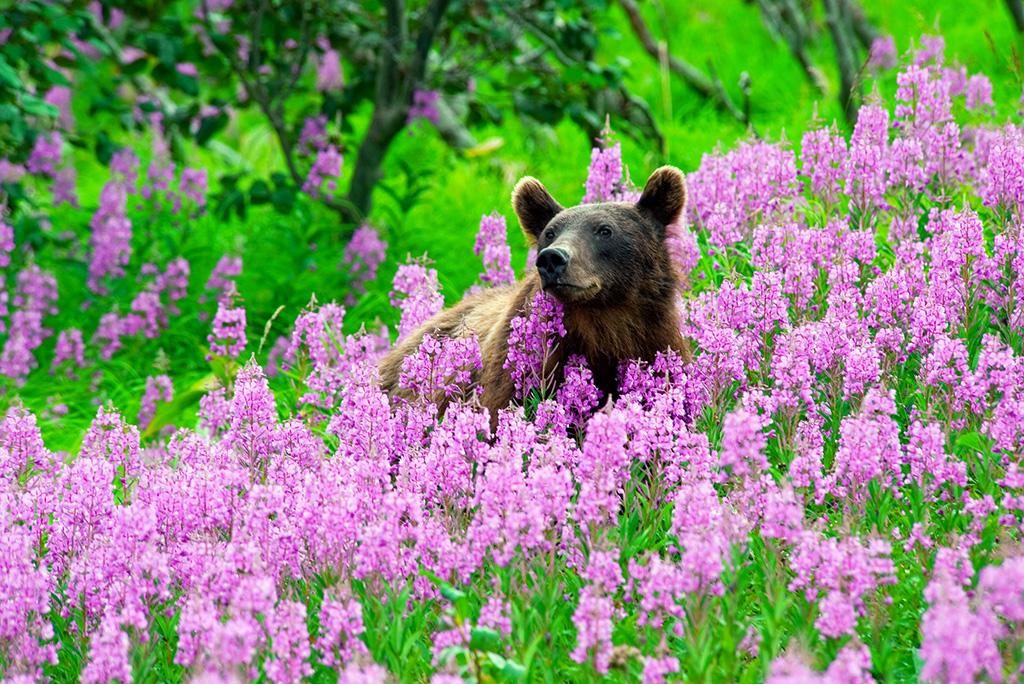 380 Медведь в Иван-чае А3+