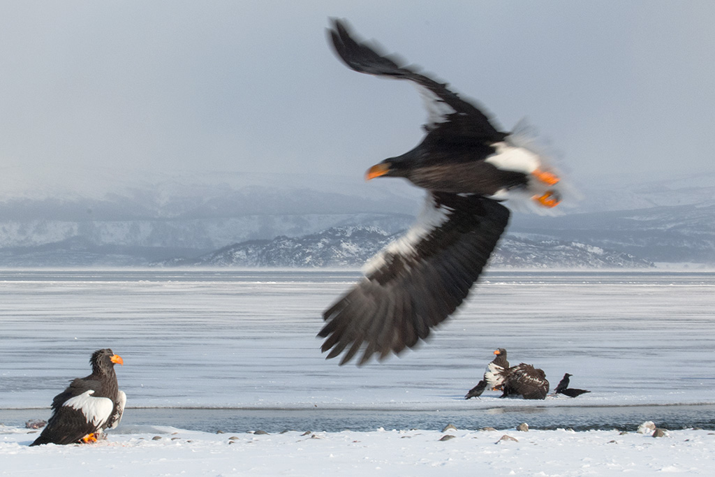 Sergey Gorshkov. Animal Behaviour Birds. Stellers sea eagle.02