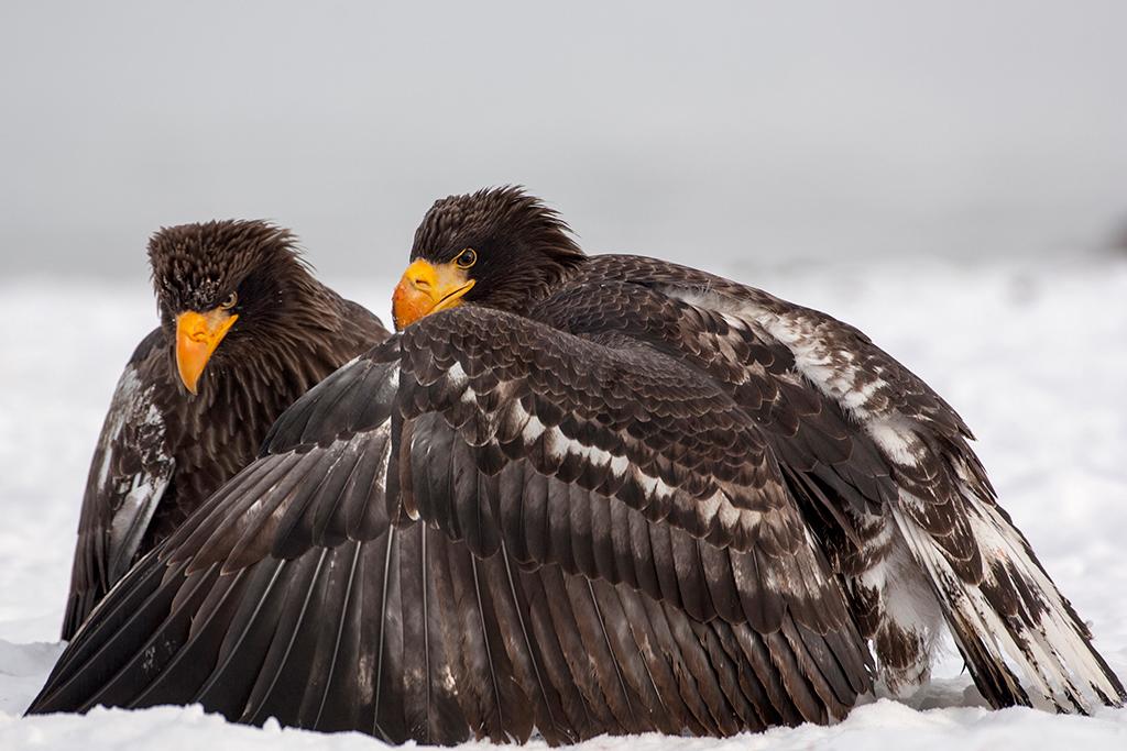 Stellers sea eagle_0273