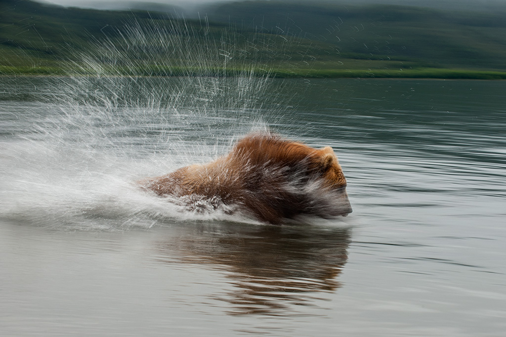 Sergey Gorshkov. Creative Visions of Nature. A bear and sparks