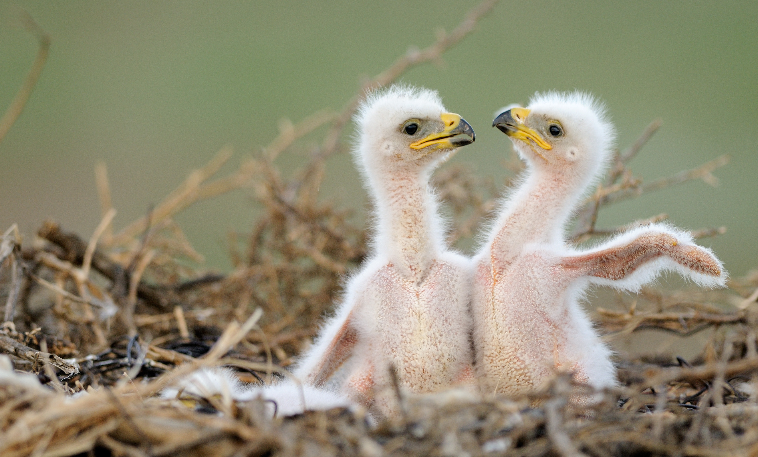 Птенцы степного орла. Автор: Игорь Шпиленок.